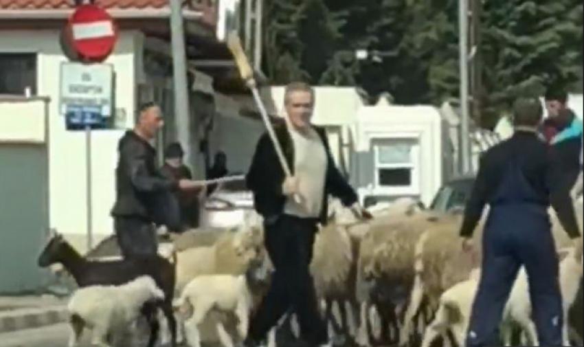 Video fabulos cu Gigi Becali care și-a scos oile la plimbare!