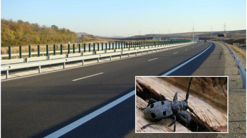 Controverse cu gândacii care blochează autostrada Pitești-Sibiu. Vor fi sau nu mutați din zonă?