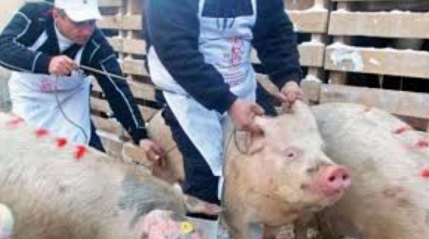 Vești bune de la Prefectura Argeș: Suspiciunea de pestă porcină de la Stoenești, infirmată de teste