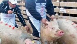 Anunț oficial al Prefecturii: Nou focar de pestă porcină în Argeș