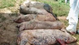 Inca trei focare de pesta porcina in Arges. Sunt 12 focare active