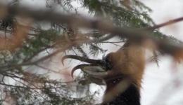 Video! Imagini foarte rare cu caprele negre din Parcul Național Piatra Craiului
