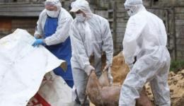 Pestă porcină africană și în comuna Călinești