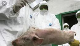 Oficial! Pesta porcina revine in Arges. Trei animale la Corbeni